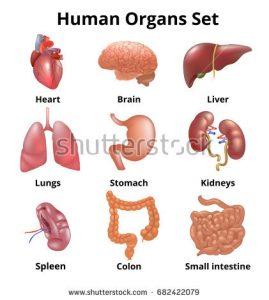 stock-vector-realistic-human-organs-set-anatomy-682422079